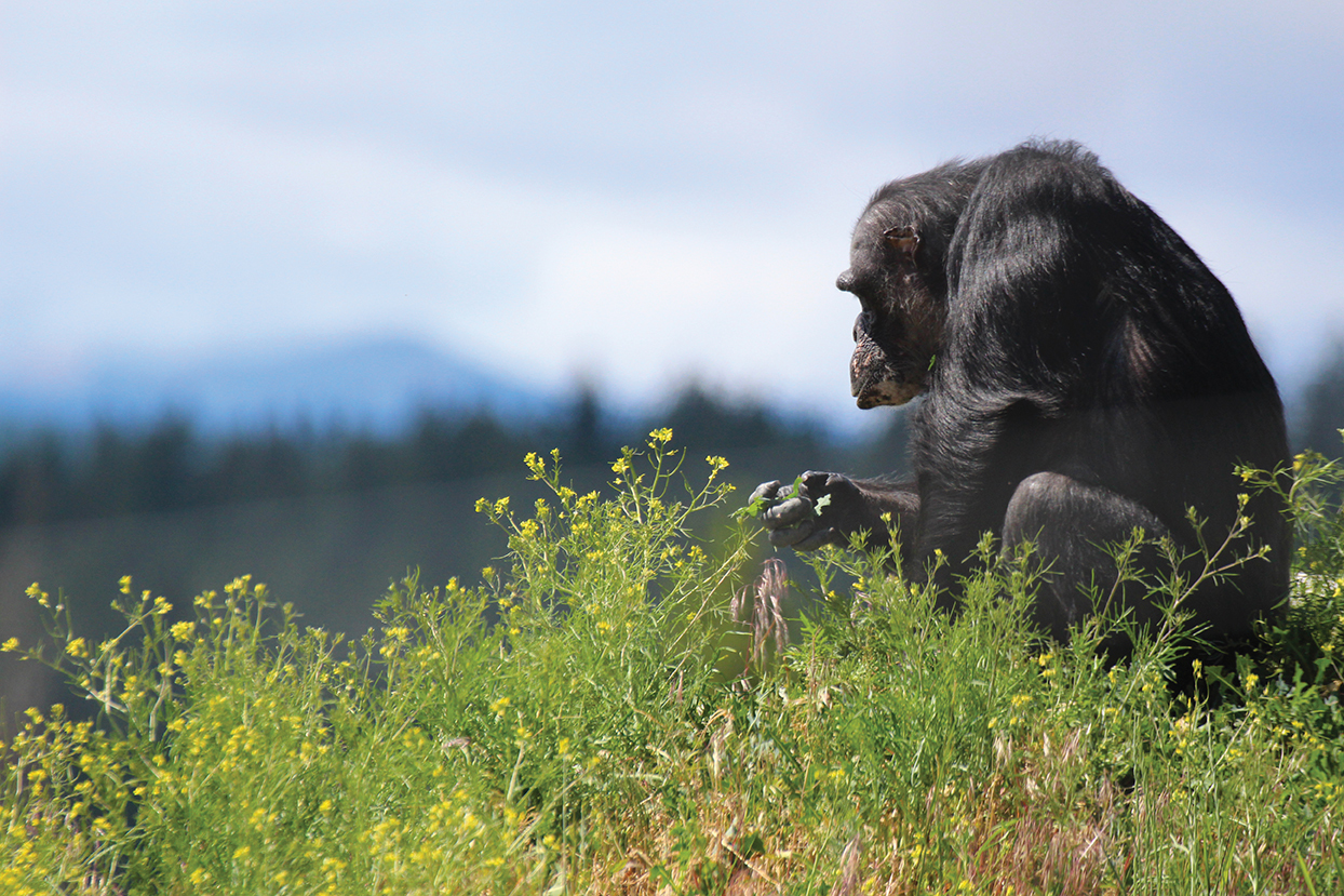 Web Exclusive: A Haven for Chimpanzees - CWU Crimson & Black