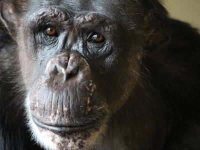 Web Exclusive: A Haven for Chimpanzees