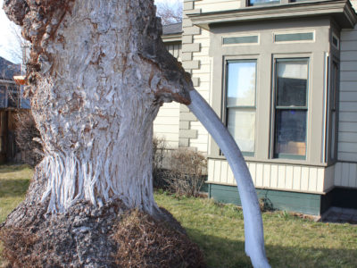 Ask Wellington: What is the Whalebone Tree?
